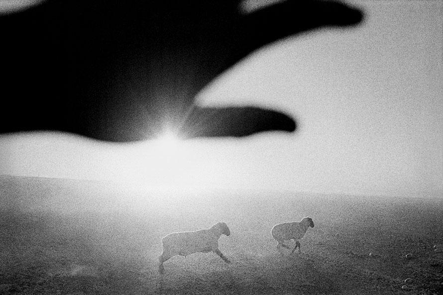 Matt Black - Firebaugh, California. Sheep in melon field.