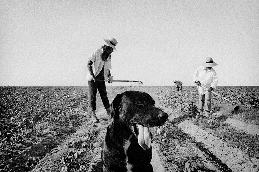Matt Black - Allensworth, California. Weeding cotton.
